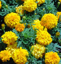 Baci - marigold flowers for decorating pha khuan