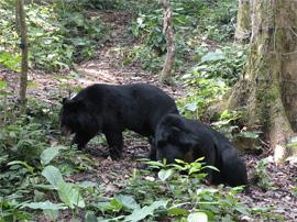 Kuang si bears